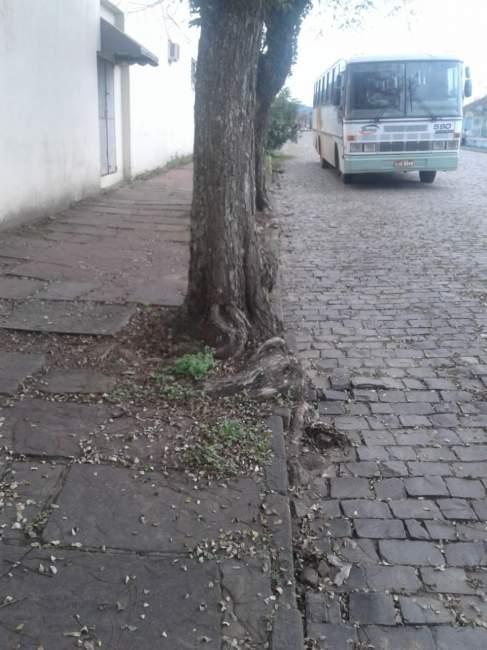 Espécies de árvores que causam danos deverão ser erradicadas do perímetro urbano (Divulgação)