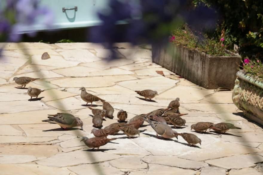 Sempre após o meio dia os pássaros são alimentados por Sérgio