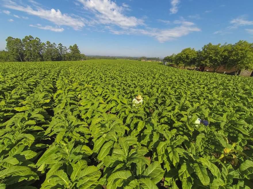 Exemplo brasileiro em produção sustentável será apresentado durante o Agro-Phyto - Crédito: Sinditabaco