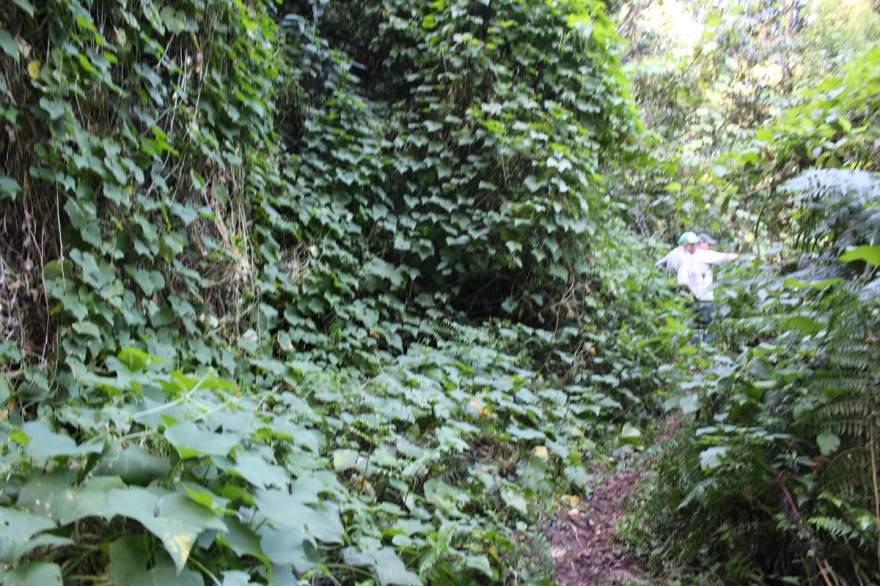 Na trilha, em meio à vegetação, chamam a atenção inúmeros pés de chuchu