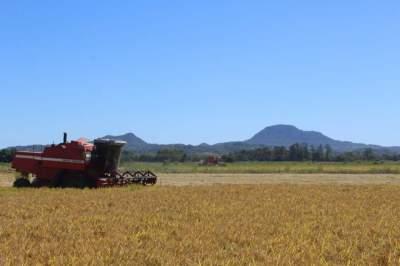 Arroz: Colheita chega a 12,88% na região