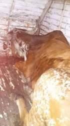 Animal de aproximadamente 500 quilos foi devolvido ao seu dono, morador de Vale do Sol (Fotos: Divulgação • Folha)